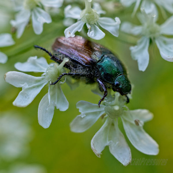 Another beetle on cow parsley