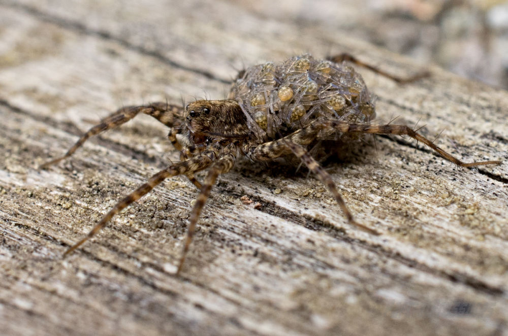 A female wolf spider carries her young on her back
