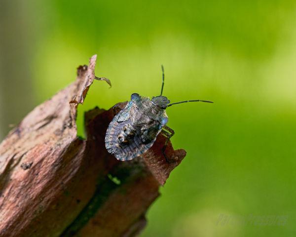 Forest bug nymph - final instar