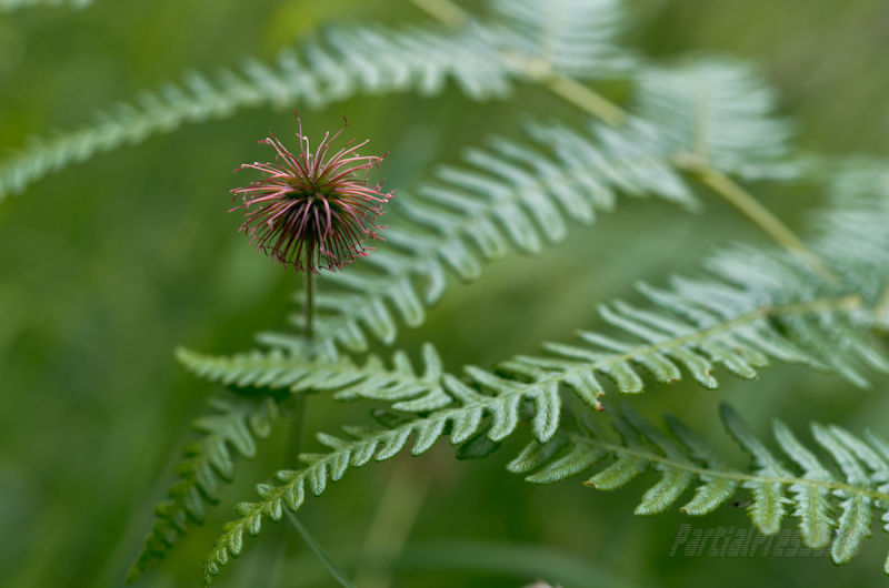 A red seed head surrounded by green