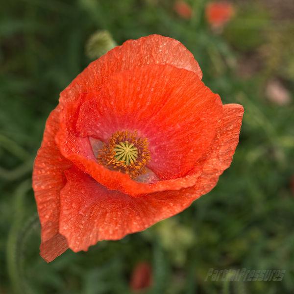 Poppy 5   Orange