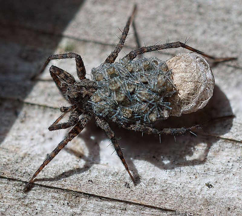 Mother wolf spider sheds her egg case