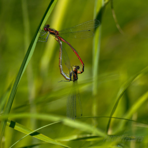 A pair of large red damselflies in flagrante