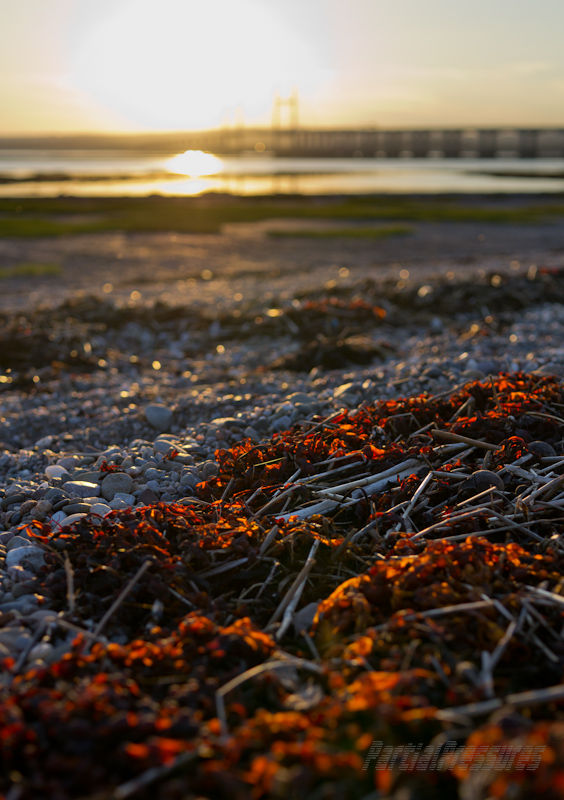 Seaweed glows in the last rays of the sun