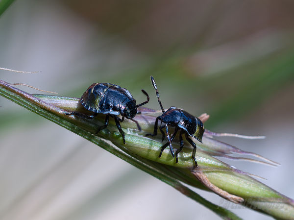 Two shield bug nymphs on a grass seed head