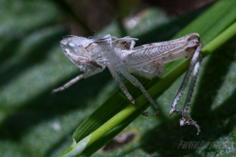 The cast-off skin of a grasshopper nymph