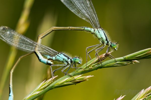 Damselflies a-courting