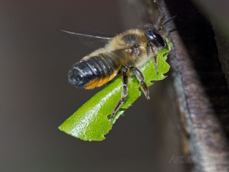 Leafcutter bee heading for her nest