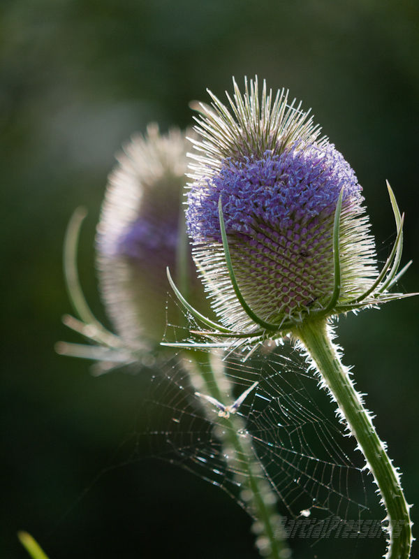Teasel flowers spiderweb