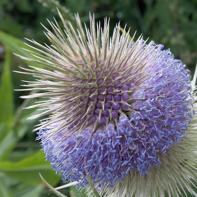 A teasel flower-head