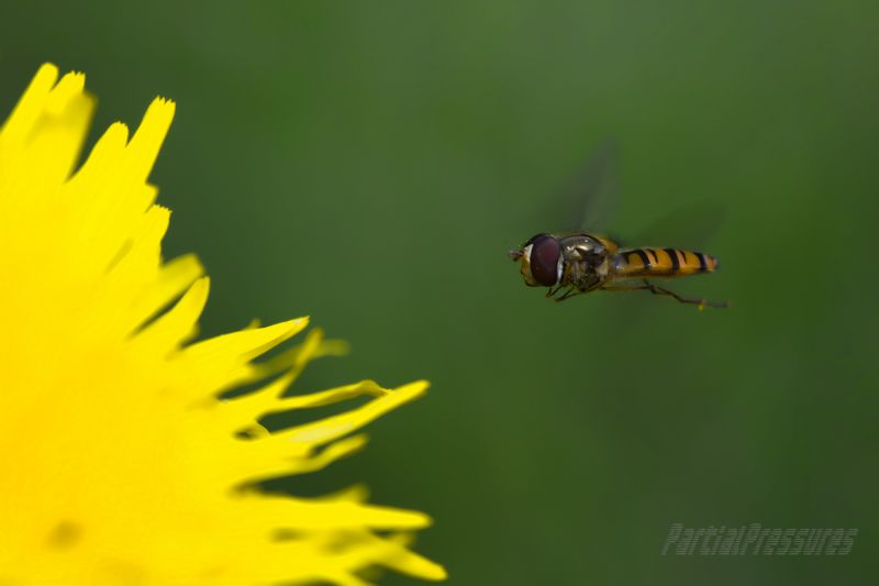 Hoverfly edging towards touchdown