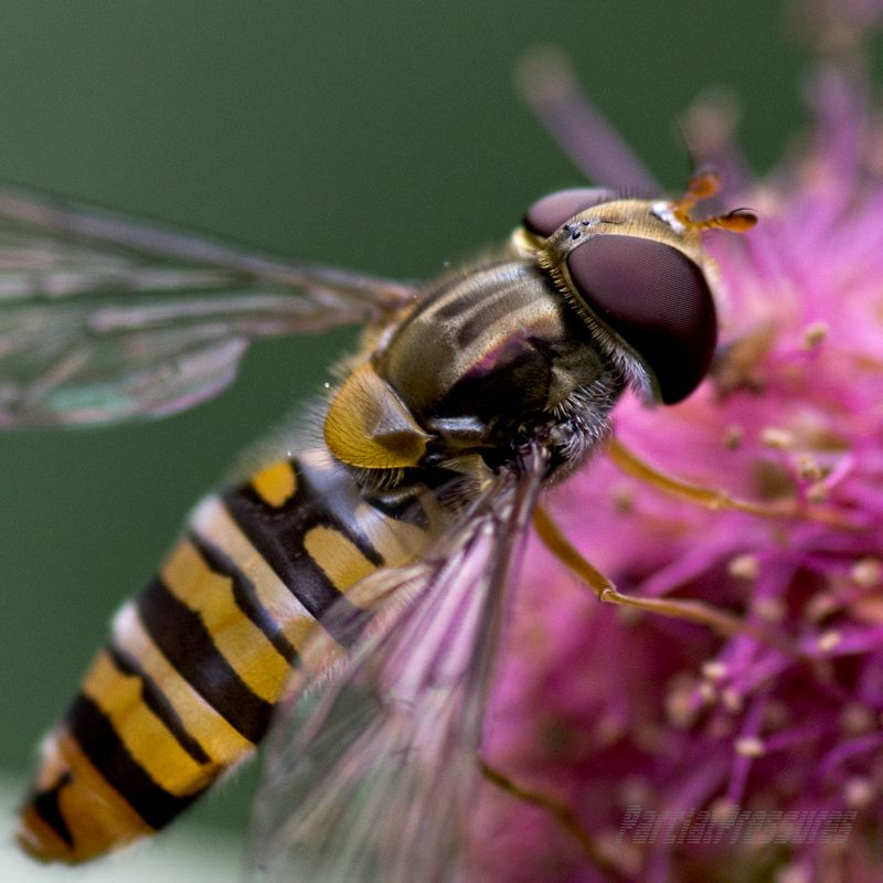 Closeup of a female marmalade hoverfly