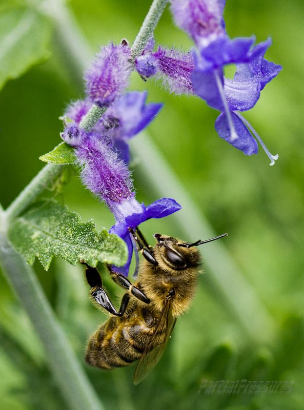 A honeybee pauses on a perovskia flower