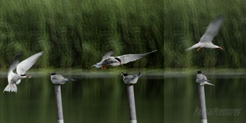 A common tern feeds her chick on the wing