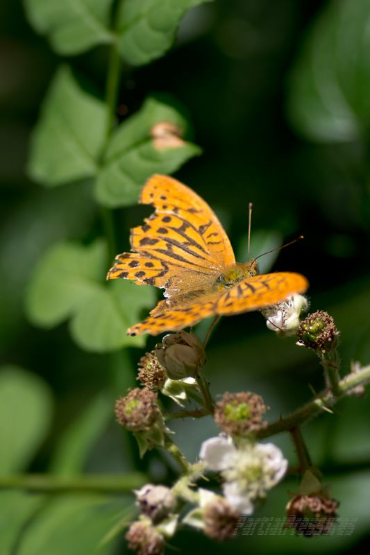 A well-worn fritillary rests on some bramble