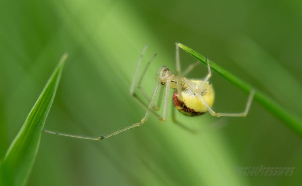 Candy-stripe/comb-footed spider traversing grass