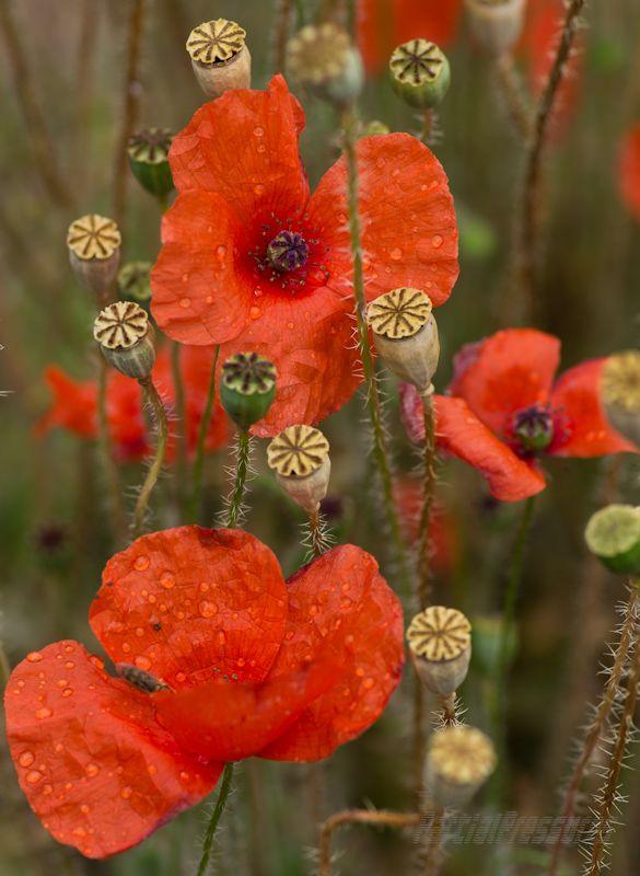 Poppy flowers and seed heads