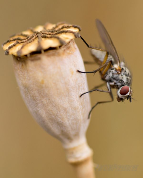 Robber fly perched on a poppy seed head