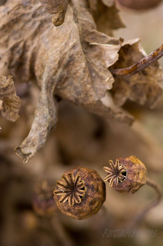 A dried-up poppy plant