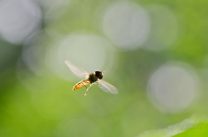 A hoverfly doing what it does best