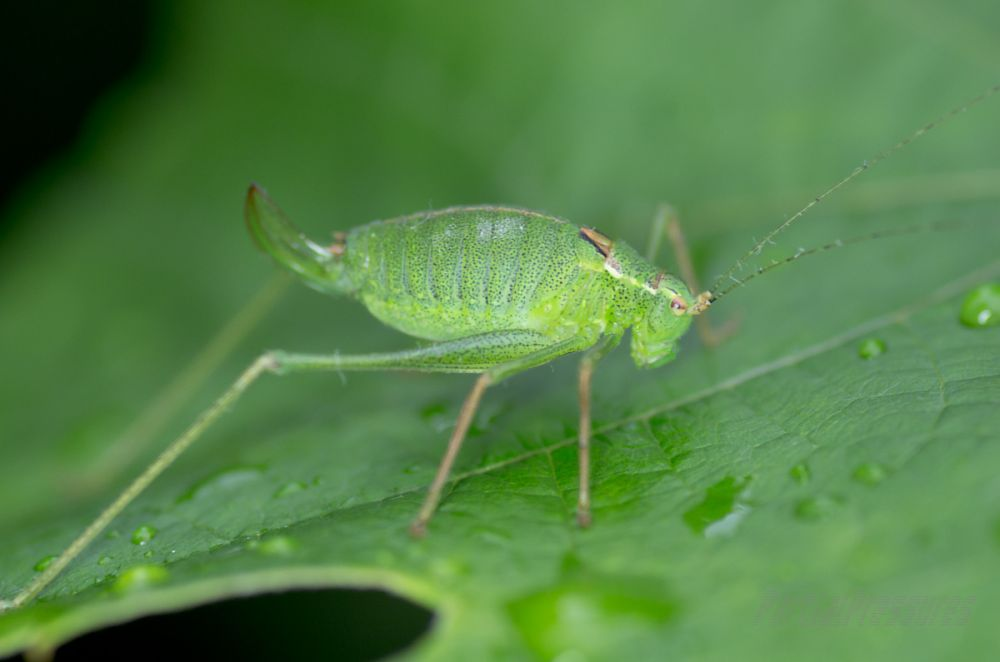 A speckled bush cricket on a vine leaf