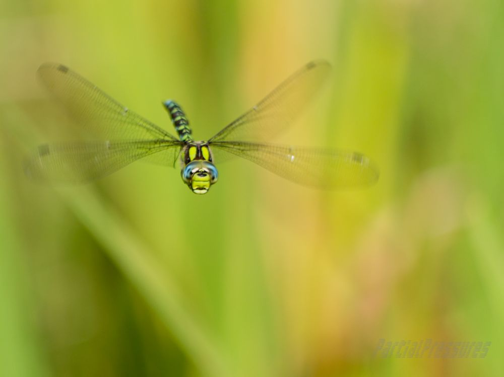 Southern hawker dragonfly checks me out