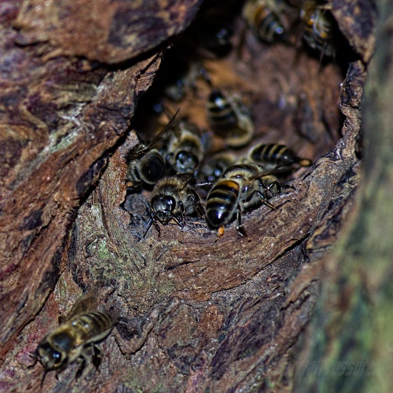Wildish bees in the mouth of their nest