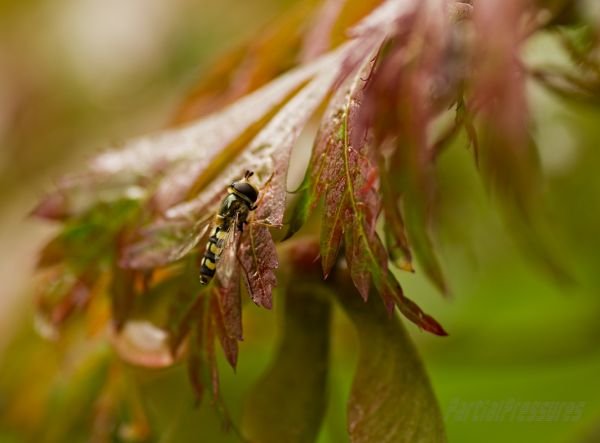 A hoverfly waits out the rain on a maple leaf