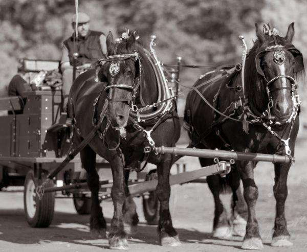 A team of Percherons haul a cart
