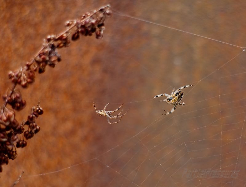 A male orb spider wooing a female