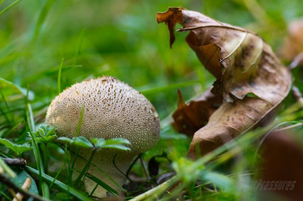 A spiky-textured mushroom on the forest floor