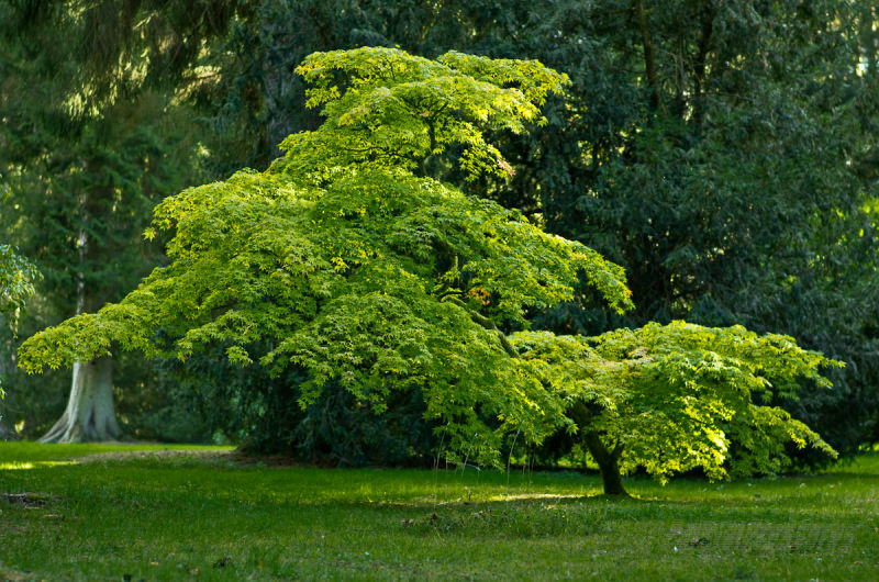 A curiously misshapen acer glows in autumn sun