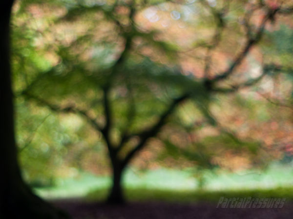 A maple tree glows in late afternoon light