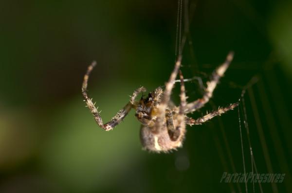 An orb spiderries to find her brey.