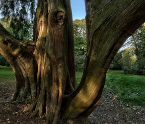 A cedar reaches out