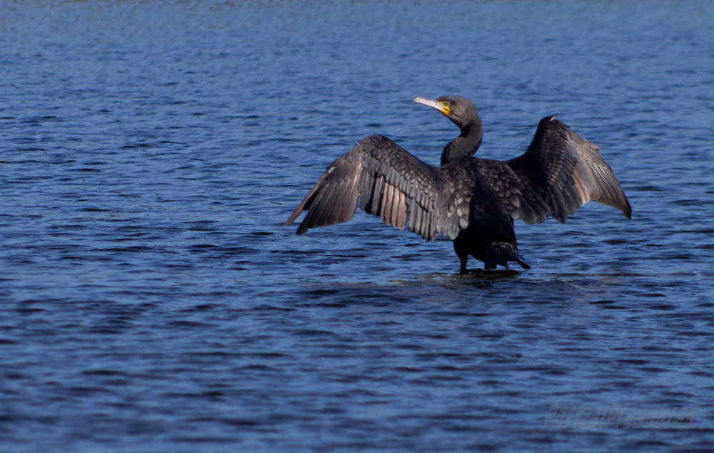 Cormorant drying wings on the edge of the canal