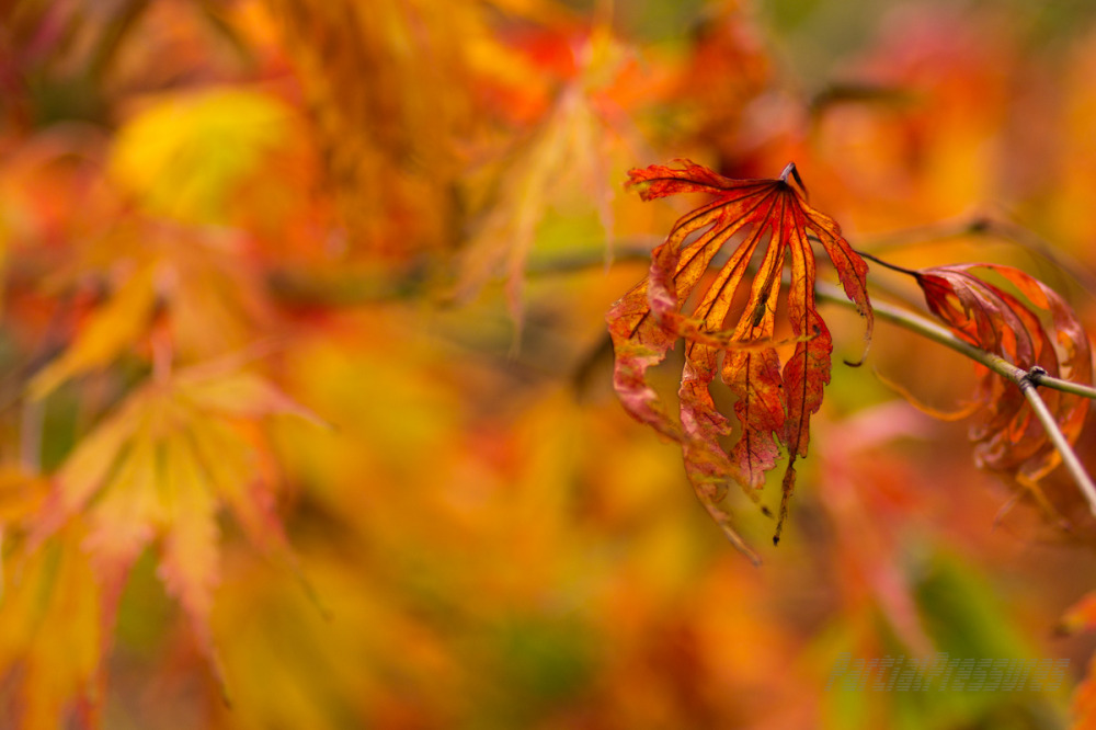 Japanese maple leaves dance in the wind