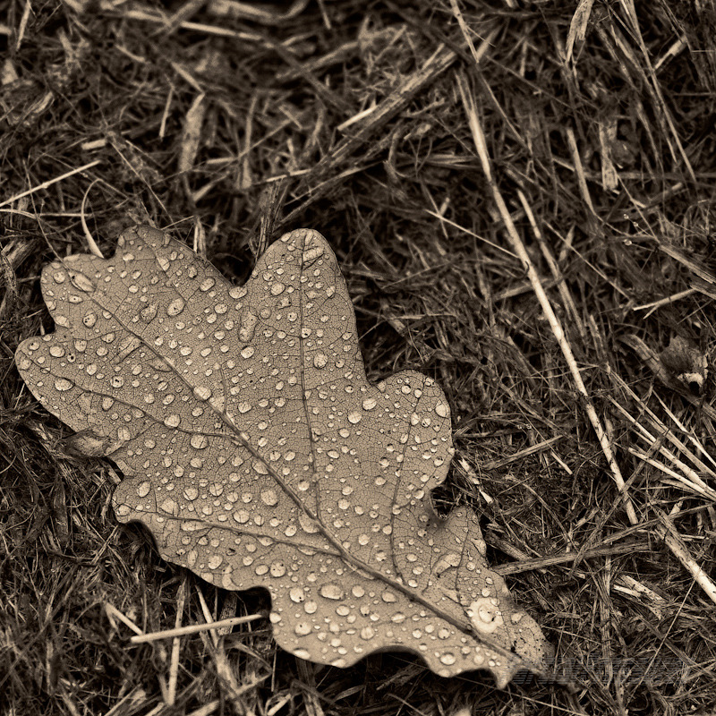 A fallen oak leaf collects rain drops