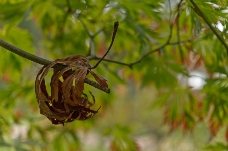 A dead maple leaf clings to a branch