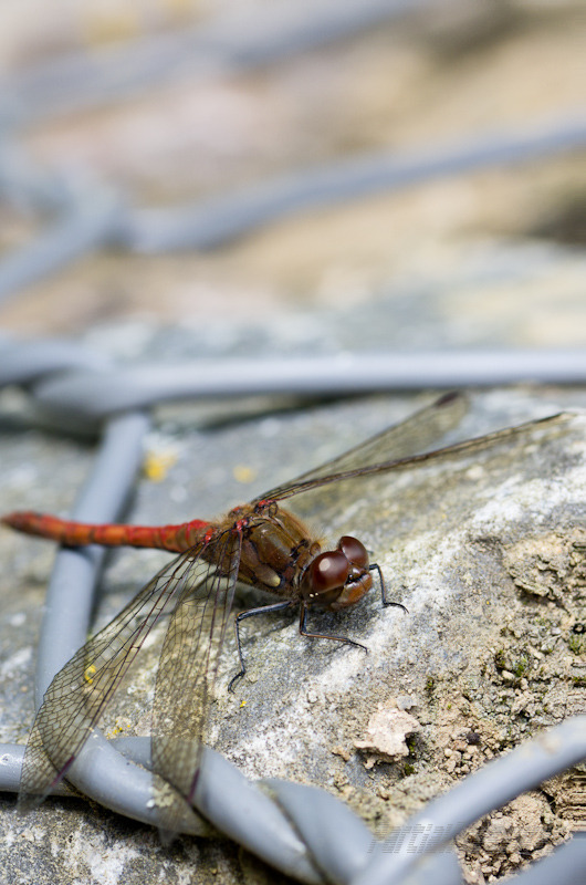 A red darter dragonfly basks in autumn sunshine