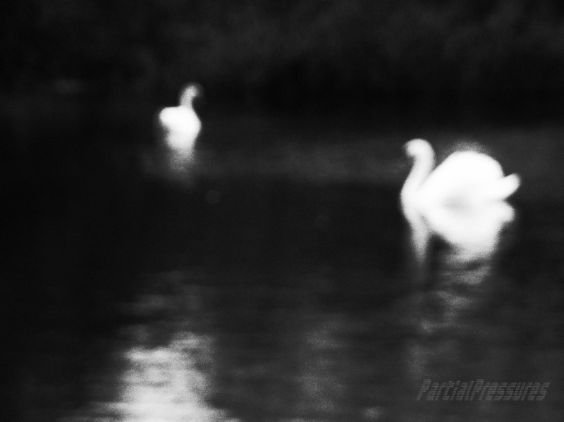 Swans in very soft focus