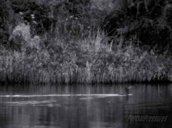 Gloomy cormorant