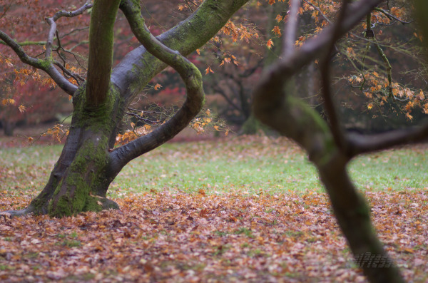 two maples with complementary shapes