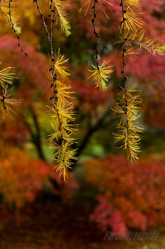 Colouring larch fronds amid maples