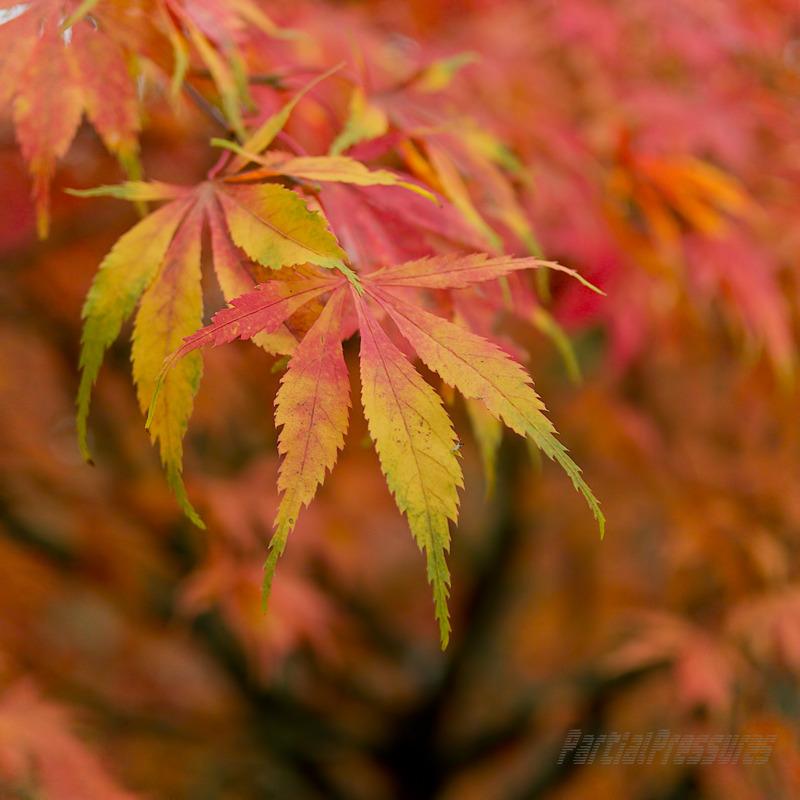 Full range of colour on a Japanese maple leaf
