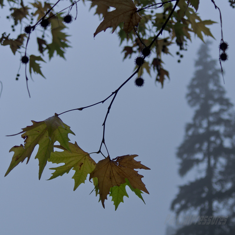 Oriental plane leaves against the fog