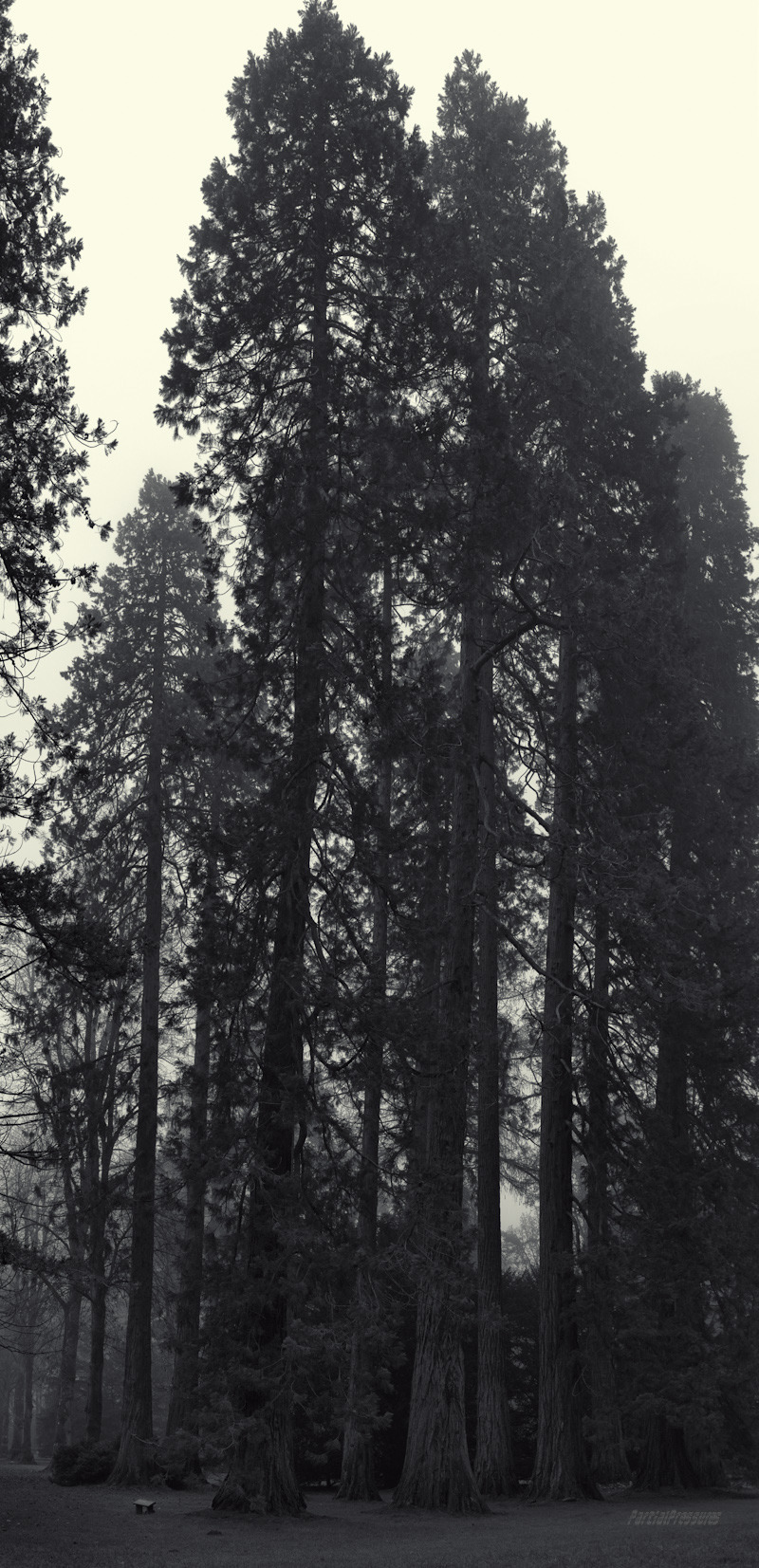 Sequoias rise into autumn fog