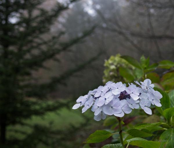 Hydrangea flowers shine in the mist