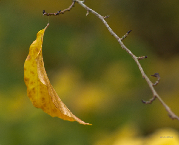 A hanging leaf forms a crescent