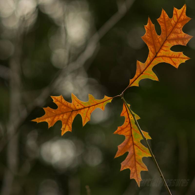 A trio of red-tinged oak leaves